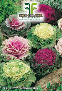 Ornamental Cabbage in Medley