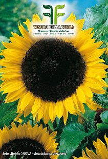 Ornamental Sunflower in Medley
