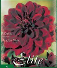 Dahlia Decorative