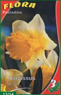 Triumpet Narcissus